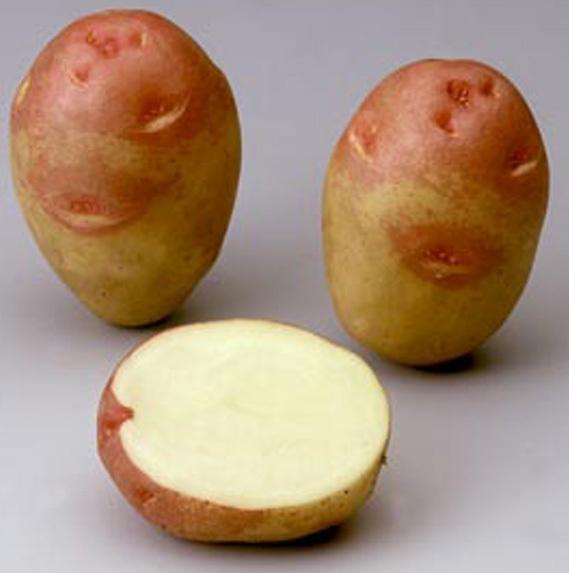 Картофель, сорт  Пикассо.
