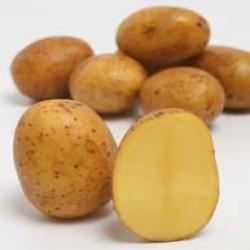 Картофель, сорт Альбатрос.