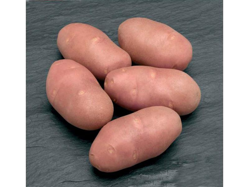 Картофель, сорт Ред Скарлет.