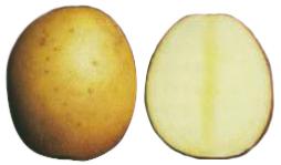 11517 Картофель, сорт Бонус.