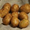 Картофель, сорт Днепрянка.