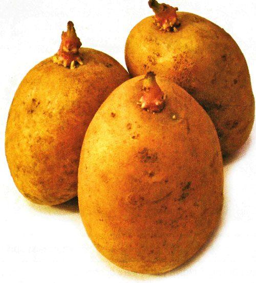 Картофель, сорт Тайфун.