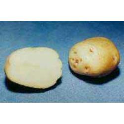 11602 Картофель, сорт Ольвия.