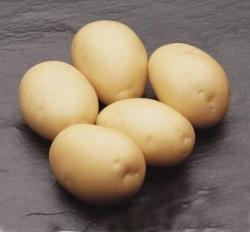 Картофель, сорт Латона.