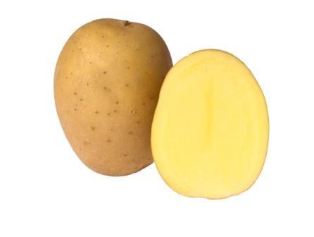 Картофель, сорт  Эвелина.