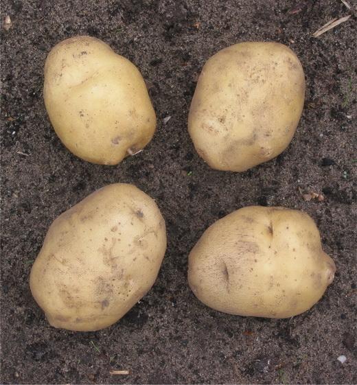 11704 Картофель, сорт Провенто.
