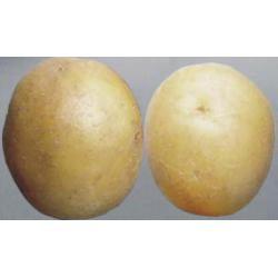 Картофель, сорт Карлена.