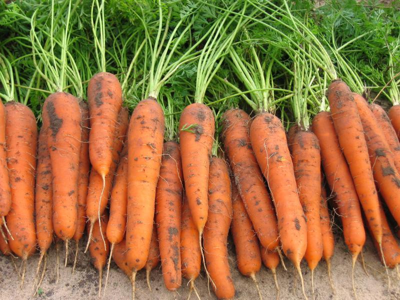Морковь, сорт Шакира F1.