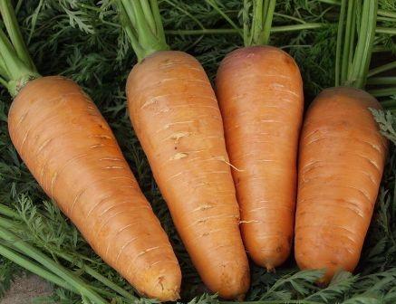 Морковь, сорт Болтекс