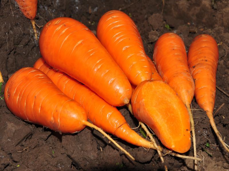 Морковь, сорт Ред Кор.