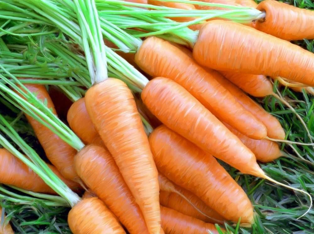 Морковь, сорт Гиганта.