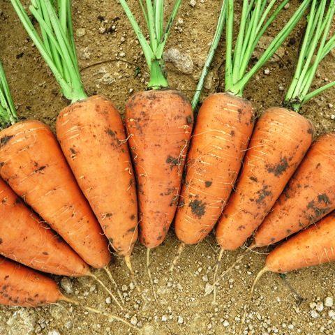 Морковь, сорт Шантане.