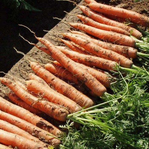 Морковь, сорт Наполи F1.