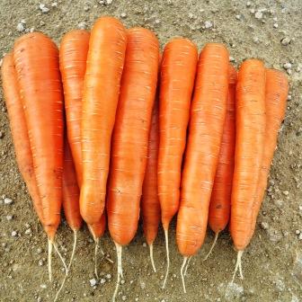 Морковь, сорт Колтан F1.
