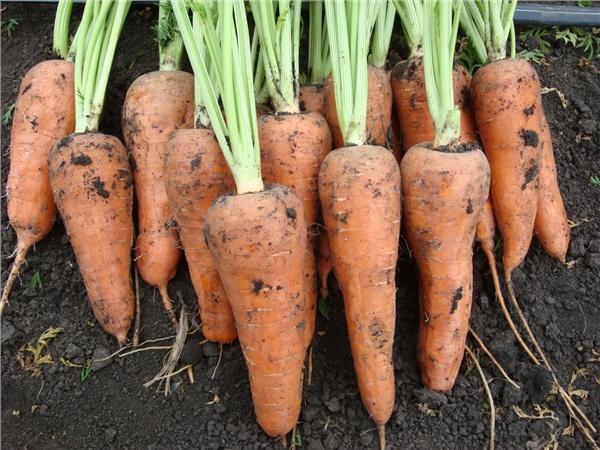 Морковь, сорт Шантанэ Ройал.