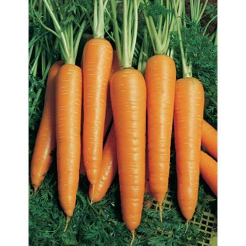 Морковь, сорт Вита Лонга.