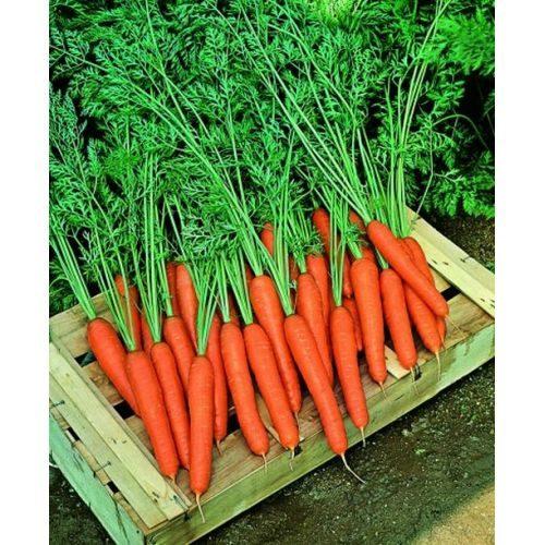 Морковь, сорт Престо F1.