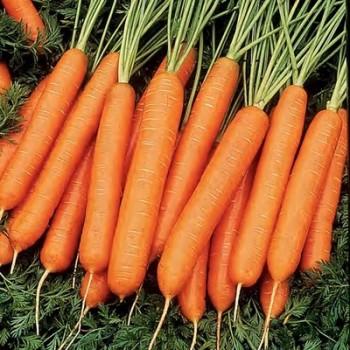 Морковь, сорт Каротан РЦ.