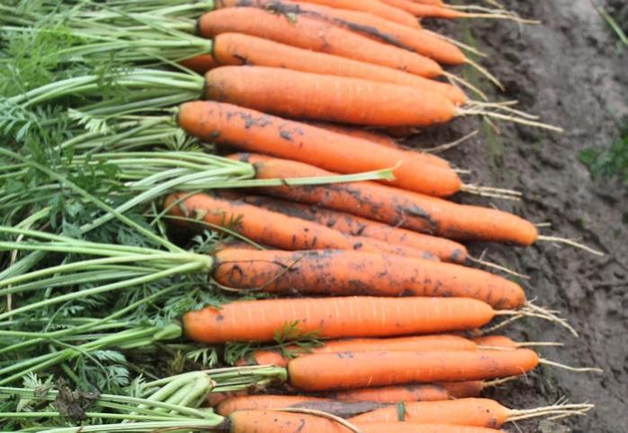 Морковь, сорт Нерак F1.