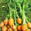 Морковь, сорт Пармекс.