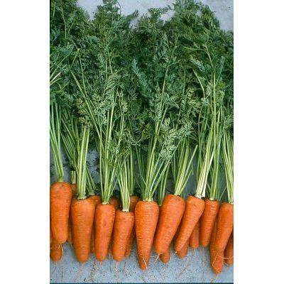 Морковь, сорт Комет.