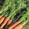 Морковь, сорт Наярит F1