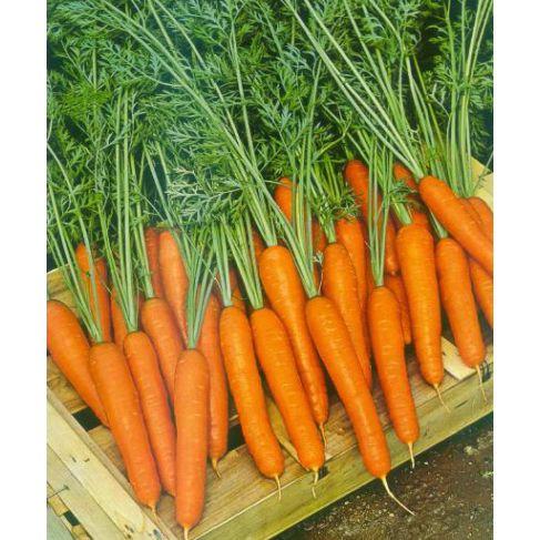 13599 Морковь, сорт Саманта F1.