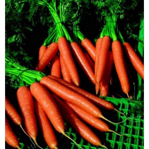 Морковь, сорт Волкано F1.