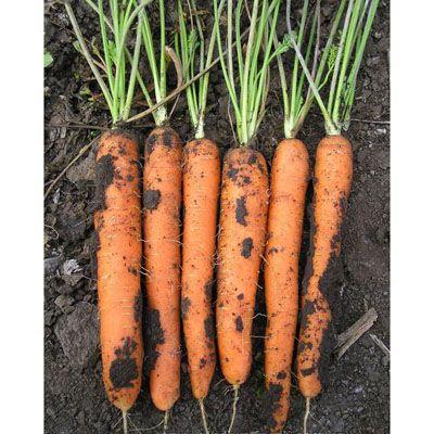 Морковь, сорт Флавио F1.