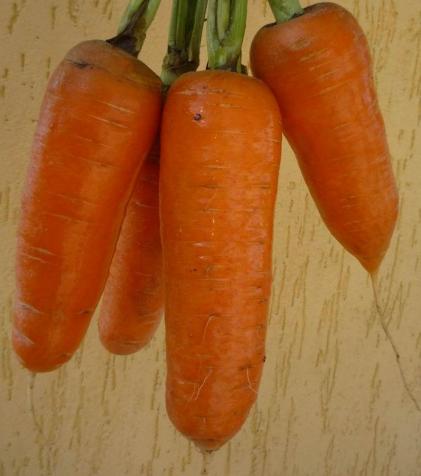 Морковь, сорт Шантеклер F1.