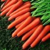 13692 Морковь, сорт Темпо F1.