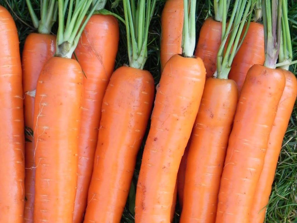Морковь, сорт Крофтон F1