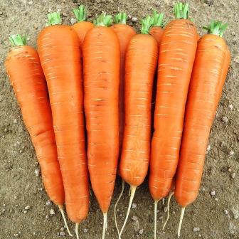 14255 Морковь, сорт Джерада F1.