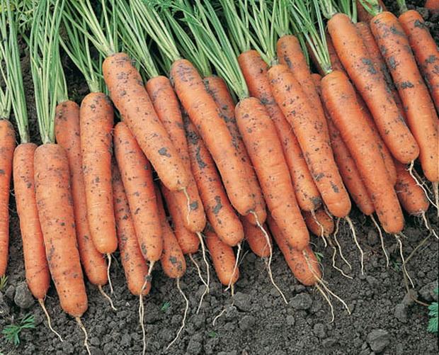 Морковь, сорт Концерто F1.