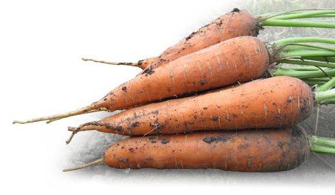 Морковь, сорт Катрин.