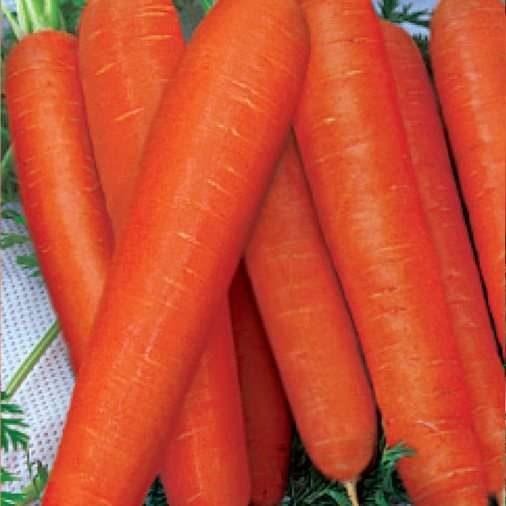Морковь, сорт Ромоса