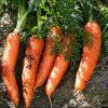 Морковь, сорт Корина