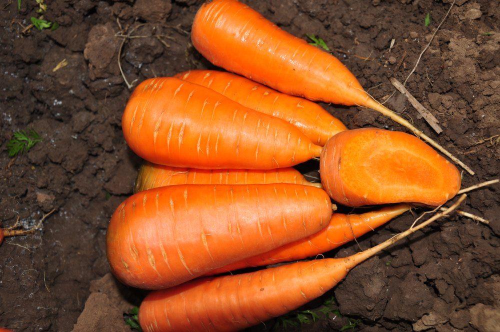 Морковь, сорт Шантане Рэд Кор