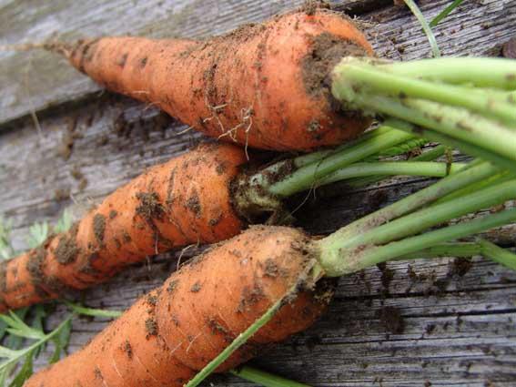 Морковь, сорт Курода