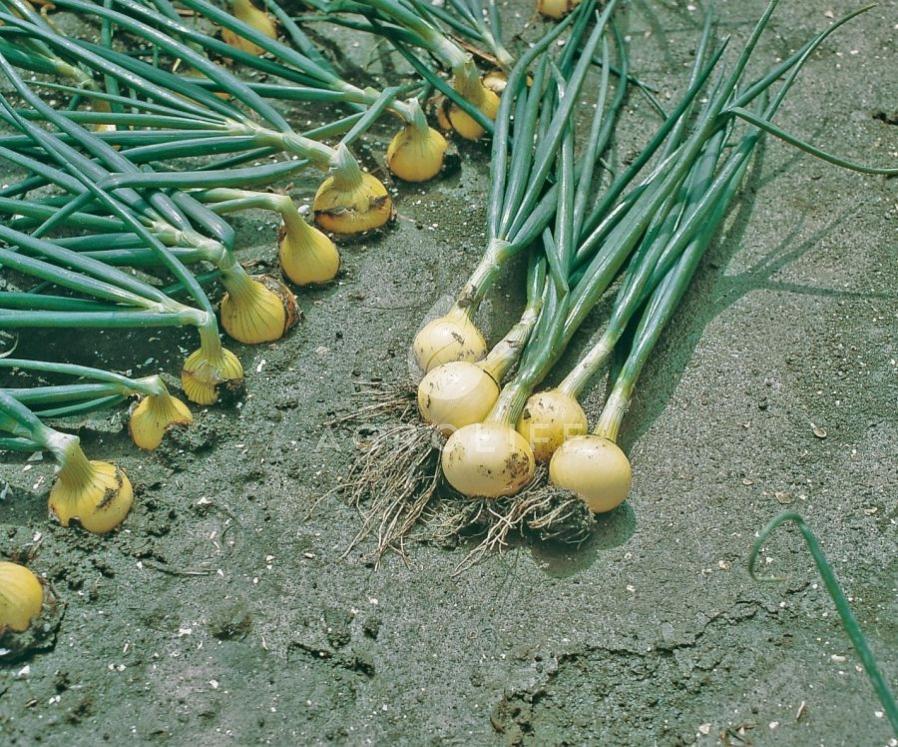 Лук выращивание лука в сибири
