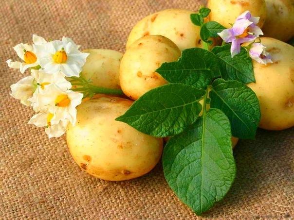 Картофель. Описание, характеристика, свойства