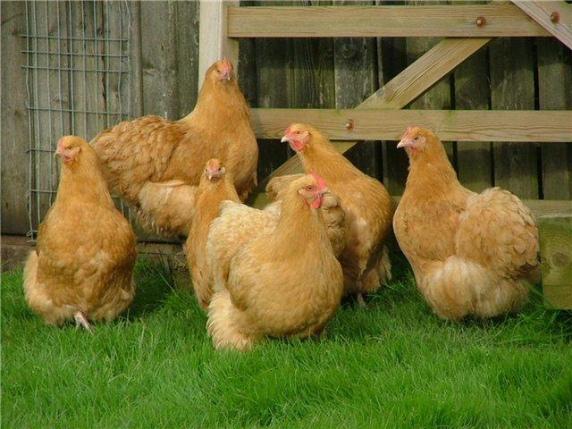 15936 Яичные породы кур
