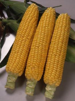 Сахарная кукуруза, Хони Бэнтам 78 дня F1