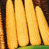 Сахарная кукуруза, Мегатон F1