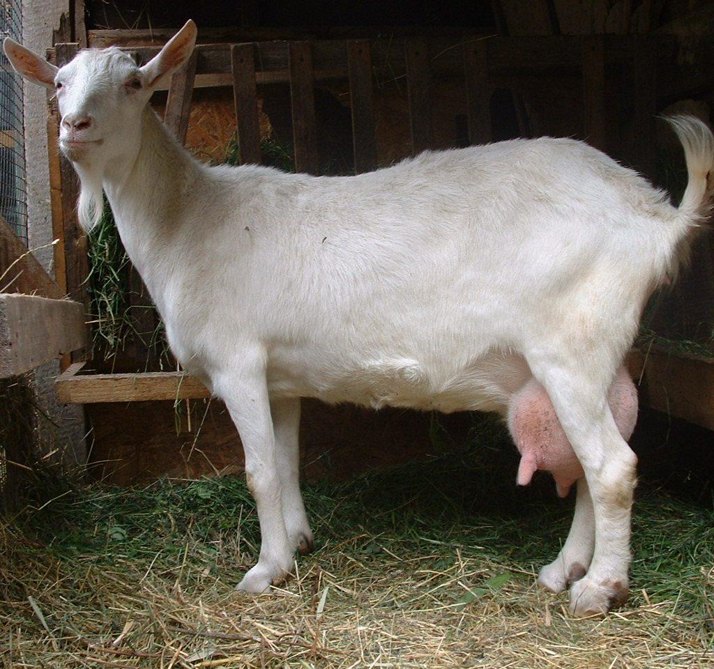 Коза, порода Зааненская