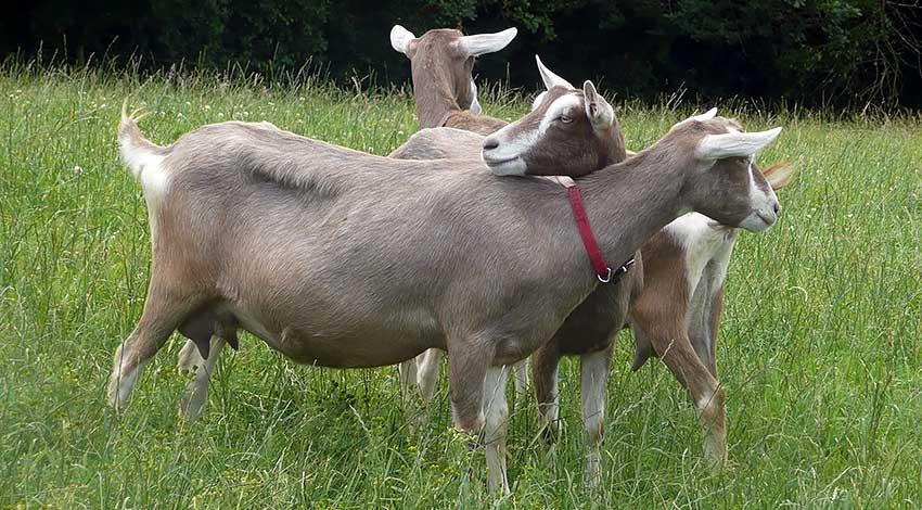 Коза, порода Тоггенбургская