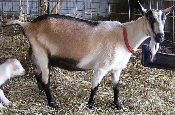 Коза, порода Альпийская