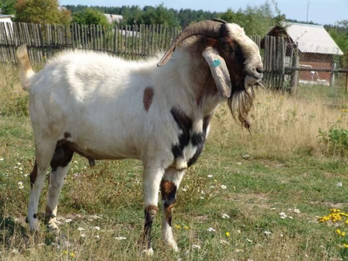 Коза, порода Нубийские
