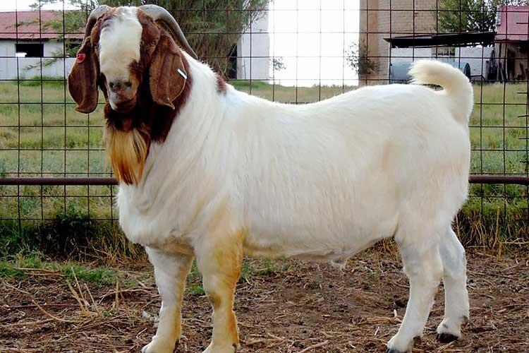 Коза, порода Бурская