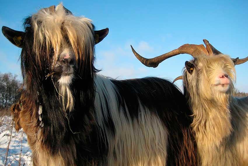 Коза, порода Голландский Ландрас